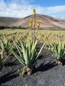 Une plantation d'aloe vera à Lanzarotte, sur le sable noir volcanique, avec une hampe florale en premier plan