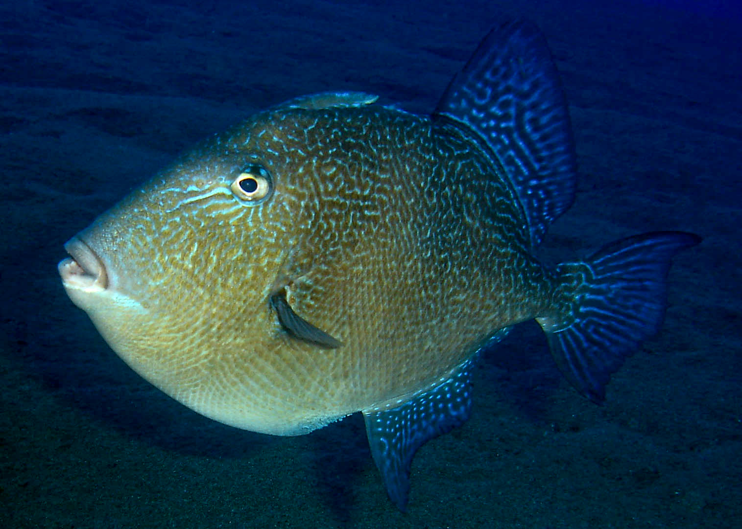 grey triggerfish.jpg
