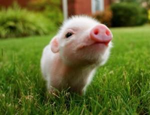 bebe cochon