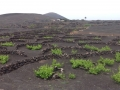 Vignes Lanzarote Geria